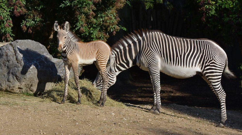 Parc Zoologique et Botanique de Mulhouse - Zèbres © Benoit Quintard