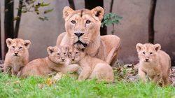Parc Zoologique et Botanique de Mulhouse - Lions Parc Zoologique et Botanique de Mulhouse - Ours Blancs Parc Zoologique et Botanique de Mulhouse - Ours Blancs © Guilhem de Lépinay