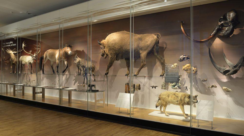 Musee-de-l-homme-animaux