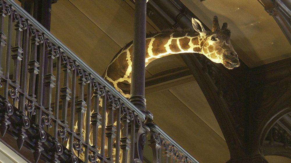 Grande Galerie de l'Evolution Girafe © MNHN - Bernard Faye